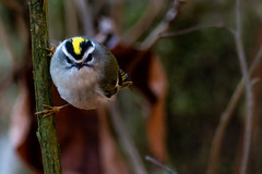 Golden-crowned Kinglet-8063 (kevinsud) Tags: goldencrownedkinglet nikon d500