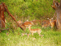 Dammit...you found us (igor29768) Tags: impala africa kenya panasonic tsavo lumix gx7 100300mm