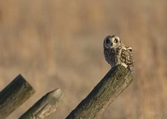 Short-eared Owl (T L Sepkovic) Tags: shortearedowl owl birdsofprey raptor wildlife wildlifephotography canon 5dmkiv teamcanon promediagear lenscoat