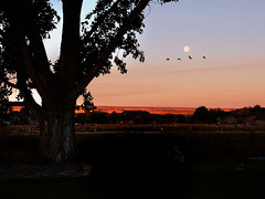 Moon 1st day of Spring (Chuckcars) Tags: montrose colorado usa october autumn harvest moon dawn morning sunrise moonset geese sky cold tree