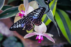 Violet Clipper Butterfly and Orchid (Stephen G Nelson) Tags: insect butterfly clipper botanicalgarden tucson arizona canoneosrebelsl1100d
