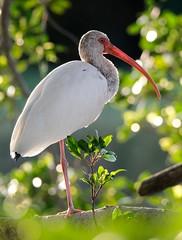 Young White Ibis (Nickel Plate) Tags: 150600 rim florida perico ibis white