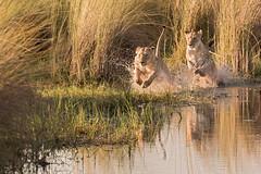 Wattershy lions? (Thomas Retterath) Tags: safari nopeople 2018 natur nature okavangodelta botswana africa afrika mapula thomasretterath wildlife