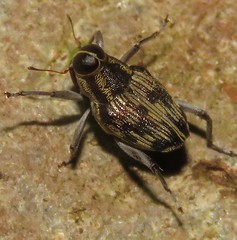 Conoderine weevil (Birdernaturalist) Tags: coleoptera conoderinae costarica curculionidae curculionoidea richhoyer