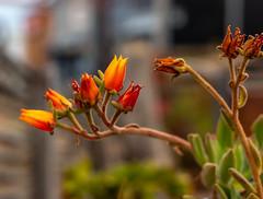 Flores, Pichilemu, Chile (Mario Rivera Cayupi) Tags: santiagodechile color flor flower bokeh desenfoque