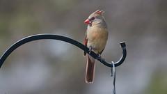 cardinal_4415 (JGKphotos) Tags: cardinal femalecardinal bird birds