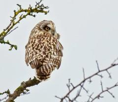 Short-eared Owl (Alan McCluskie) Tags: shortearedowl owls asioflammeus birdofprey predator birds aves oiseaux nature wildlife