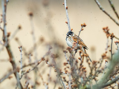 Reed Bunting (LeFoto - photography by Peter Le Cointe) Tags: wildlife hampshire birdfeeding gnats newforest petelecointe lefoto bird reedbunting