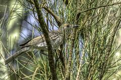Grey Shrike-thrush (Arcus Cloud) Tags: bird birds birdwatching birding birdphotography birdspotting australia australianbirds australianwildlife animal animalphotography wildlife wildlifeandnature wildlifephotography wildlifephoto wild nature nsw naturalworld naturewatcher natural