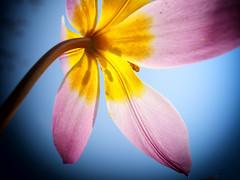 Feeling Beautiful! (Ageeth van Geest) Tags: hmm backlight macromondays lookup tulip under close up details macro pink flower spring sky colors pastel