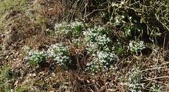 Snowdrops, Ayrshire, Scotland. (Phineas Redux) Tags: snowdropsayrshirescotland snowdrops scottishlandscapes scottishscenery scottishflowers scotland