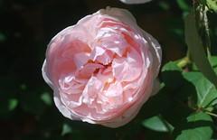 Es pilgert durch die Lande (amras_de) Tags: rose rosen ruža rosa ruže rozo roos arrosa ruusut rós rózsa rože rozes rozen roser róza trandafir vrtnica rossläktet gül blüte blume flor cvijet kvet blomst flower floro õis lore kukka fleur bláth virág blóm fiore flos žiedas zieds bloem blome kwiat floare ciuri flouer cvet blomma çiçek