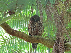 Morepork (Ruru) (tedell) Tags: morepork ruru tiritiri matangi rodney district auckland new zealand december 2018 bird owl