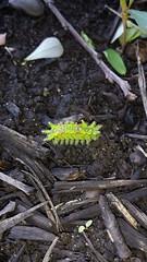 Slug caterpillar (Euclea sp.) (JHousePhotos) Tags: arkansas moths limacodidae caterpillars