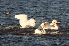 IMG_2448 (LezFoto) Tags: swan mute cygnusolor loirstonloch aberdeen scotland unitedkingdom canoneos700d sigma 700d canon 120400mmf4556dgapooshsm digitalslr dslr canonphotography sigmalens fight splash splashing action