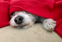 Oliver ❤️ (Ian Threlkeld) Tags: explore dogs pets animals irt