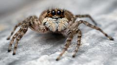 Salticidae (Javier Chiavone) Tags: araña arañasaltarina argentina canon7dii mpe65 macrofotografía macrophotography marcospaz salticidae spider nature
