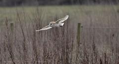 Barn Owl  (4) (andrewspencer45) Tags: wild bird life nature wallpaper barn owl
