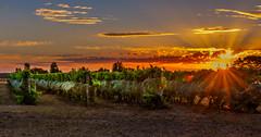 Bellbrae Estate (jenni 101) Tags: australia bellbraeestate greatoceanroad nikond7200 sigmaart18 sunset torquay victoria vineyard photographybyjen