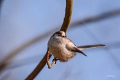 """""""Mésange à longue queue"""" (leguen.maxime) Tags: mésange longue queue animal oiseau hiver jardin loiret loire 2019 nature"""