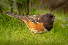 Spotted Towhee (alicecahill) Tags: ca usa wild wildlife ©alicecahill sanluisobispocounty bird spottedtowhee morrobay towhee animal