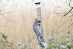 """Cheeky squirrel says """"who me? What!?"""" (charlottejarvis@live.co.uk) Tags: squirrel berks england uk"""