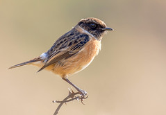 DSC6435  Stonechat... (Jeff Lack Wildlife&Nature) Tags: stonechat stonechats birds avian animal animals wildlife wildbirds wetlands wildlifephotography jefflackphotography songbirds moorland meadows marshes moors countryside coastalbirds copse coastline coast brambles gorse glades chats nature