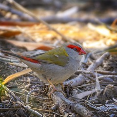 in the shadows -  a red-browed finch (Fat Burns ☮) Tags: redbrowedfinch neochmiatemporalis sigma150600mmf563dgoshsmsports smallbird nikond500 bird australianbird fauna australianfauna oxleycreekcommon feathers finch