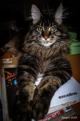 Exceline (ericbaygon) Tags: cat chat maincoon ozzy félin nikon d750 animal coon