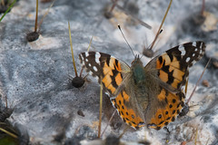 Painted lady (jim_mcculloch) Tags: 4021 butterflies