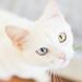 odd-eyed cat1