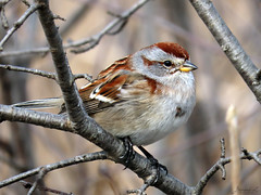American Tree Sparrow RP IMG_9090 (Jennz World) Tags: ©jennifermlivick americantreesparrow sparrow riversidepark cambridge ontario canada bird
