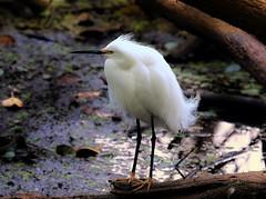 """Snow White"" (Jan Nagalski) Tags: egret snowyegret white whitebird aigrette oiseau swamp marsh corkscrewswamp florida jannagalski jannagal mating plumage plumes gold goldenfeet"