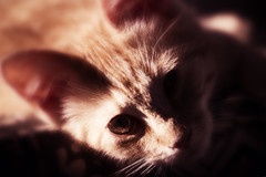 Portrait of a cat (Elke Bosma-Prins) Tags: cat kitten red lensbaby animal canon portrait
