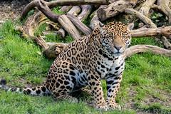 Male Jaguar (O'Brien Photography) Tags: jaguar chesterzoo canon 750d sigma150600mm bigcat cat