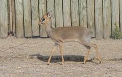 Kirk's Dik-dik. (watt.charlene) Tags: kirks dikdik antelope animal mammal zoo marwell nikon d500 nikond500