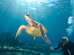 Green Sea Turtle (GfLGdog) Tags: green sea turtle mala pier maui hawaii sun rays diver scuba