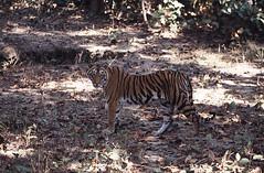 Bengal tiger, Kanha National Park, Madhya Pradesh, India (inyathi) Tags: asia asianwildlife asianmammals asiananimals india indianwildlife indiananimals madhyapradesh kanha bengaltiger pantheratigris bigcats cats tigers nationalparks