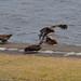 Japanese black kites (Milvus migrans, トビ)
