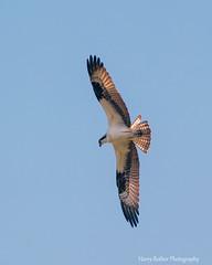An Osprey in Flight (Harry Rother) Tags: animal raptor osprey fish eagle florida