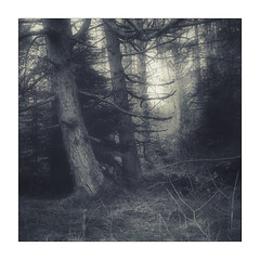 Welsh Woodland (gerainte1) Tags: wales snowdonia trees woodland forest pines blackwhite film pancro400 hasselblad501