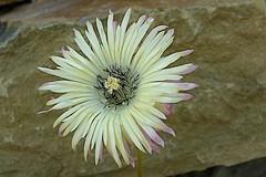 Drosanthemum bellum  Afrique du Sud - Le Cap