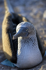 Blue footed booby (geraldineh.dutilly) Tags: wild birds galapagos blue footed booby bird nature