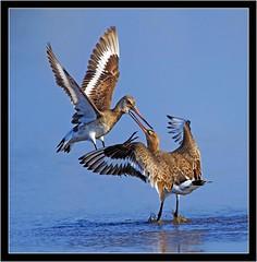 SQUABBLING GODWITS (PHOTOGRAPHY STARTS WITH P.H.) Tags: black tailed godwits m nikon d500 500mm afs vr lodmore weymouth dorset gitzo mk5 wimberley wh200 gimbal 14 teleconverter lodmoor