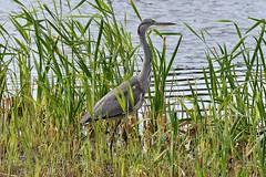 Grey Heron (Ardea cinerea) (Pete Rodgers) Tags: birds bird heron herons greyheron rspb rspbhamwall hamwall waterbird