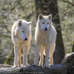 Parc animalier de Sainte Croix - Saison 2019 (5) (dom67150) Tags: arcticwolf lorraine loupblanc louparctique parcanimalierdesaintecroix rhodes