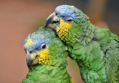 Love! (Nina_Ali) Tags: parrots two birds feathers beaks nature tropicalbirdland leicestershire march2019