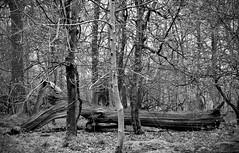 Fallen Giant (rwbthatisme) Tags: tree woodlands ashridge forest monochrome hertfordshire