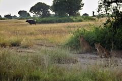Hunter and Hunted (pbr42) Tags: africa uganda outdoor nature grass grassland animal lion buffalo tree bush cat bigcat