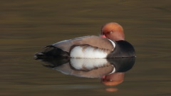 Let sleeping ducks lie (Hammerchewer) Tags: redcrestedpochard duck drake wildlife outdoor